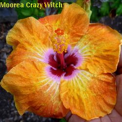 Moorea Crazy Witch