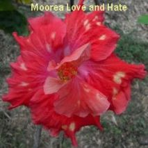Moorea Love And Hate