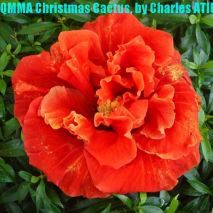 QMMA Christmas Cactus