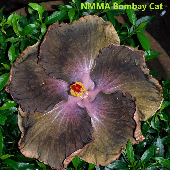23 NMMA Bombay Cat