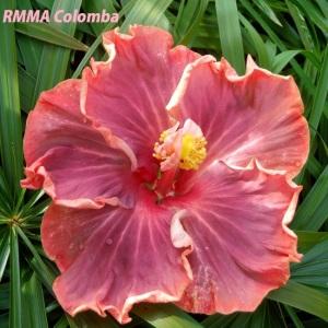 RMMA Colomba