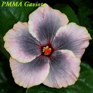 28 PMMA Gaviota