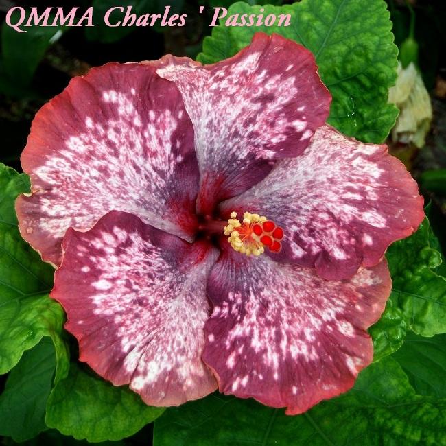 3 QMMA Charles ' Passion