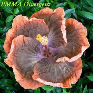 38 PMMA Divergent