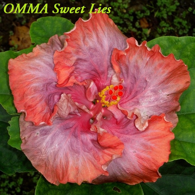 48 OMMA Sweet Lies