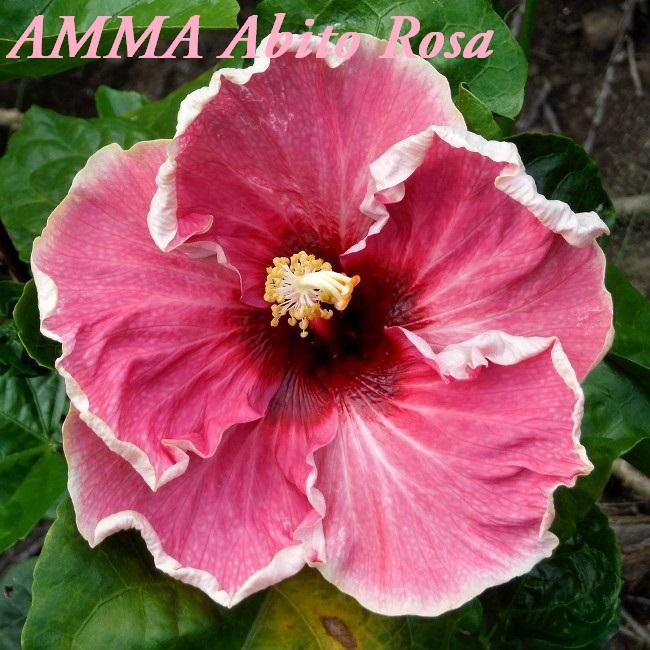 AMMA Abito Rosa