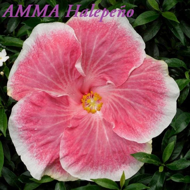 AMMA Halepeu00F1o