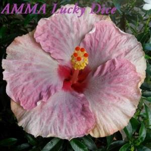 AMMA Lucky Dice