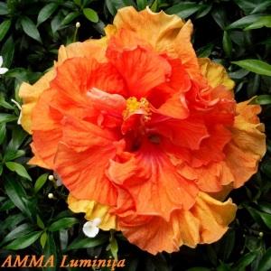 AMMA Luminiu0163a