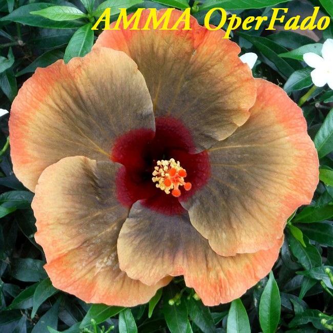 AMMA OperFado