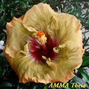 AMMA Theia