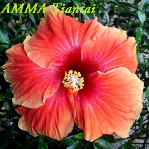 AMMA Tiantai