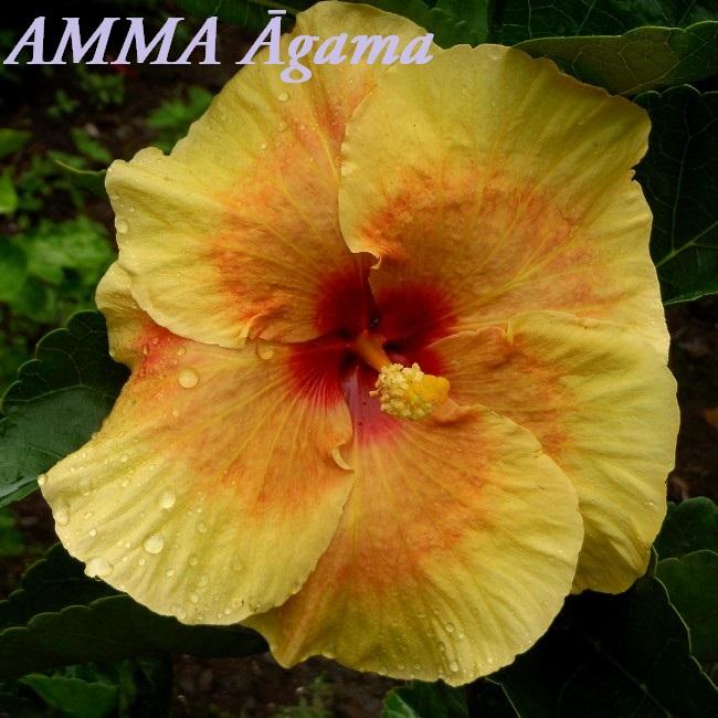 AMMA u0100gama