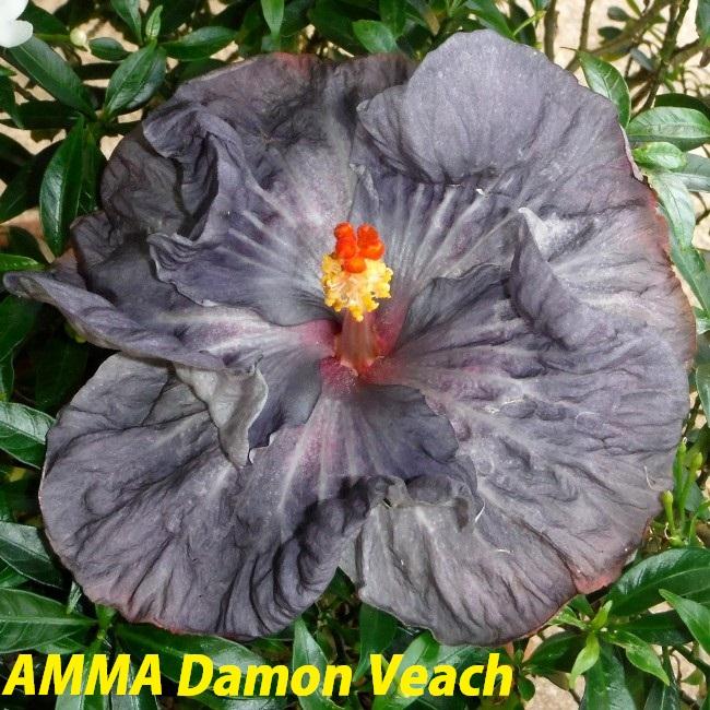 17 AMMA Damon Veach