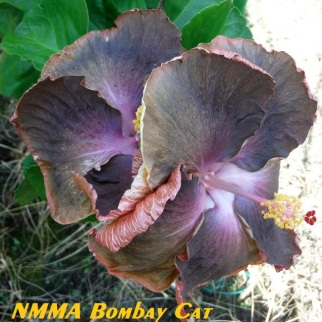 4 NMMA Bombay Cat