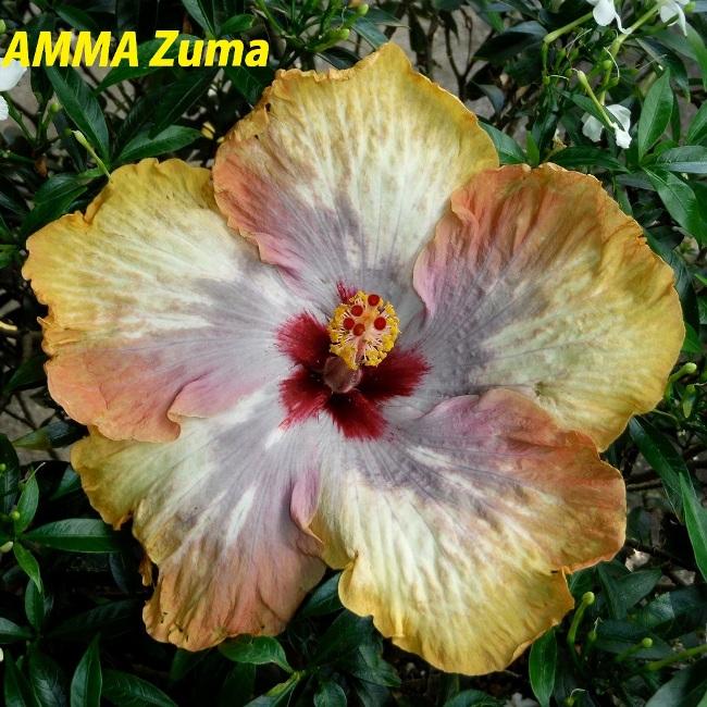 40 AMMA Zuma