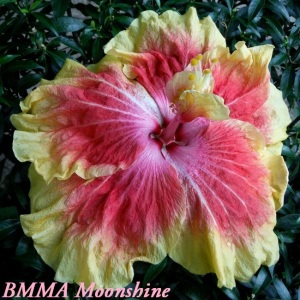 BMMA Moonshine