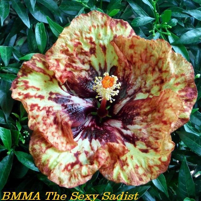 BMMA The Sexy Sadist