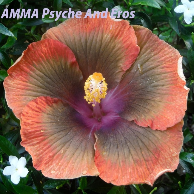 10 AMMA Psyche And Eros