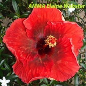 20 AMMA Elaine Webster