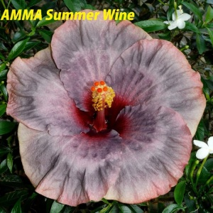 25 AMMA Summer Wine