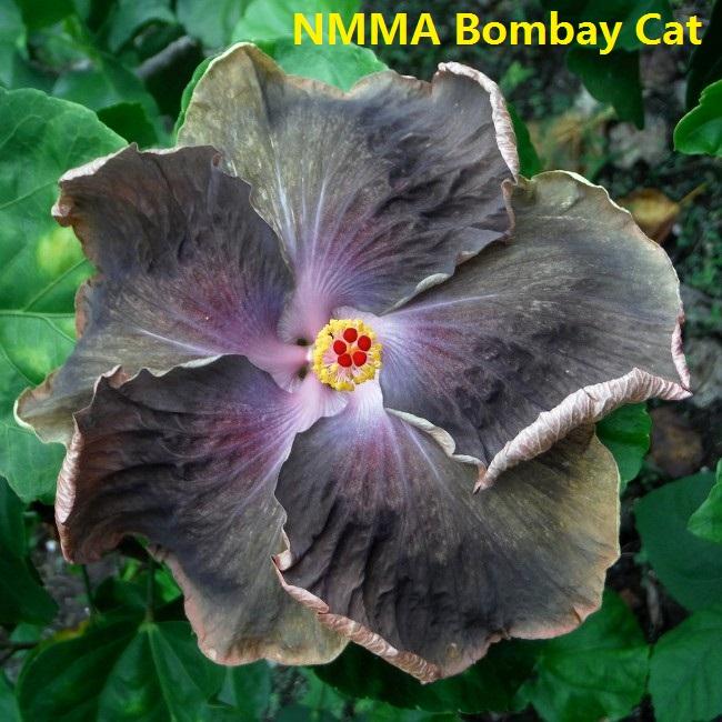 4 NMMA Bombay Cat