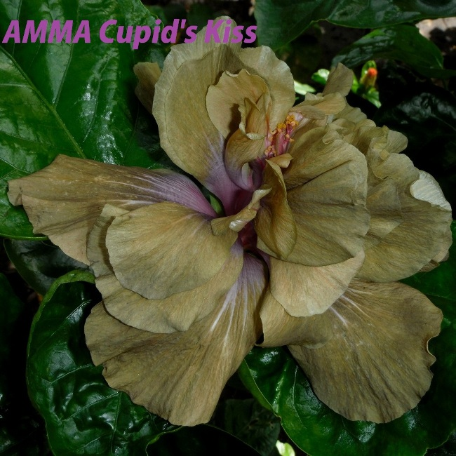41 AMMA Cupid's Kiss