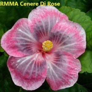 43 RMMA Cenere Di Rose