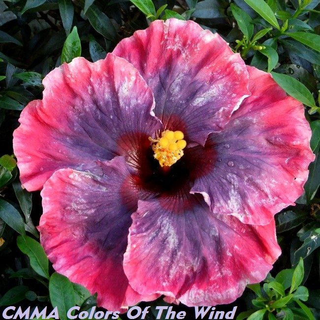 CMMA Colors Of The Wind