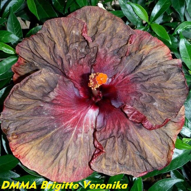 DMMA Brigitte Veronika