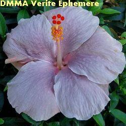 DMMA Verite Ephemere