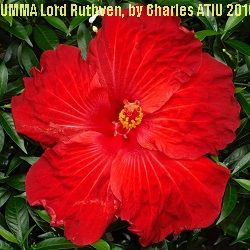 UMMA Lord Ruthven