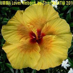 UMMA Lover Reborn